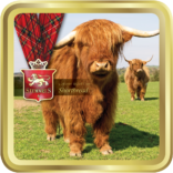 Highland Cow tin image