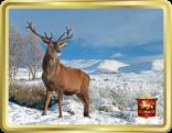 Scottish Highland Stag tin image